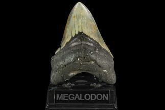 "5.05"" Fossil Megalodon Tooth - North Carolina For Sale, #124952"