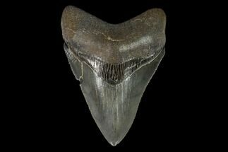 "Buy Serrated, 4.01"" Fossil Megalodon Tooth - South Carolina - #129436"