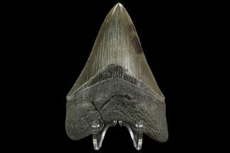 "Serrated, 3.96"" Fossil Megalodon Tooth - South Carolina For Sale, #129440"