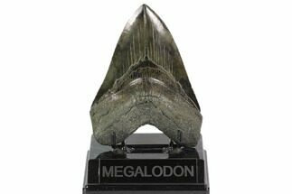 "Buy Serrated, 4.90"" Fossil Megalodon Tooth - South Carolina - #129445"