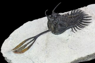 Walliserops trifurcatus - Fossils For Sale - #128964