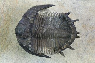"1.15"" Akantharges Mbareki Trilobite - Tinejdad, Morocco For Sale, #128996"