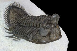 "2.2"" Tower Eyed Erbenochile Trilobite - Top Quality For Sale, #128993"