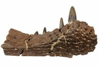 "2.9"" Cretaceous Crocodilian Jaw Section - Hell Creek Formation For Sale, #129791"