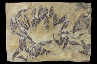 Gosiutichthys parvus (Knightia?) - Fossils For Sale - #130095