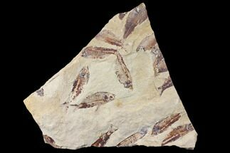 Gosiutichthys parvus (Knightia?) - Fossils For Sale - #130014