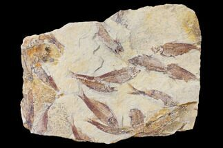 Gosiutichthys parvus (Knightia?) - Fossils For Sale - #130038