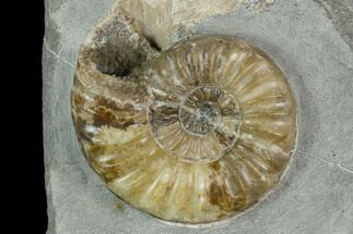 Asteroceras obtusum - Fossils For Sale - #130212
