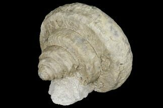 Euomphalus latus - Fossils For Sale - #130281