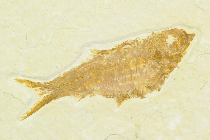 "2"" Fossil Fish (Knightia) - Green River Formation"