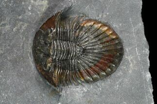 ".85"" Scabriscutellum Trilobite - Red Colored Shell For Sale, #130544"