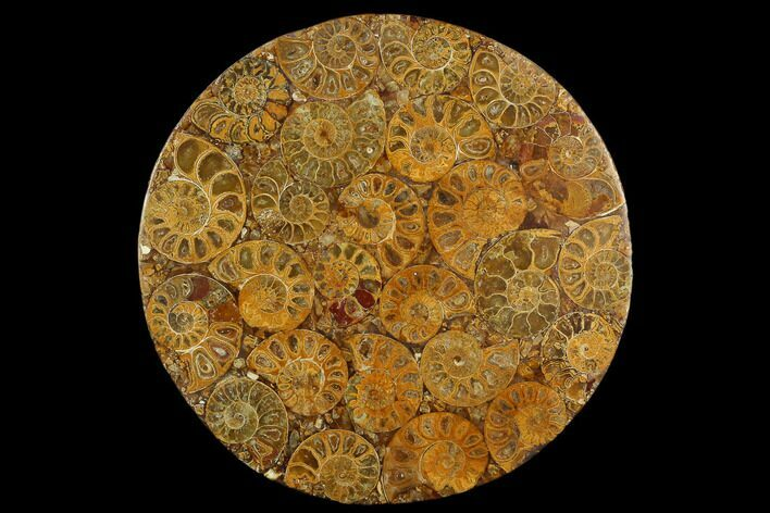 "8"" Composite Plate Of Agatized Ammonite Fossils"