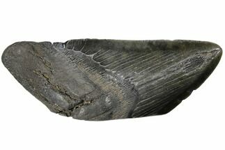 Carcharocles megalodon - Fossils For Sale - #130857