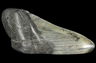 "Buy 4.89"" Fossil Megalodon Tooth ""Paper Weight"" - #130864"