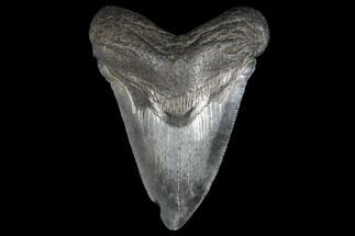 "3.41"" Fossil Megalodon Tooth - South Carolina For Sale, #130736"