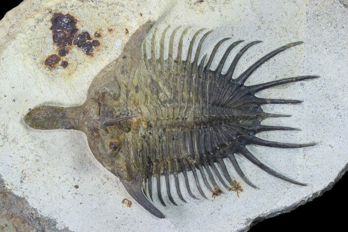 "3.3"" Psychopyge Trilobite With Short (Bitten?) Genal Spines"