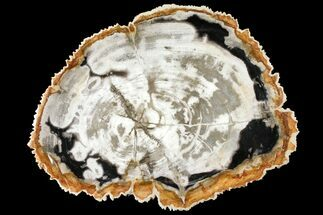 "Buy 12.2"" Tropical Hardwood Petrified Wood Dish - Indonesia - #131464"