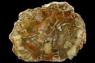 "Buy 4.8"" Petrified Wood (Araucaria) Slab - Madagascar  - #131476"