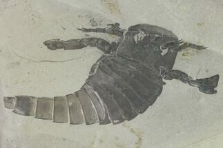 Eurypterus remipes - Fossils For Sale - #131481