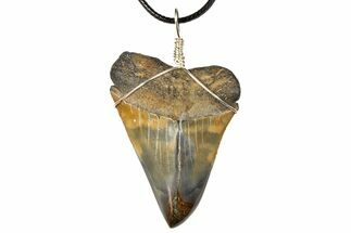 "2.4"" Fossil Mako Shark Tooth Necklace For Sale, #130913"