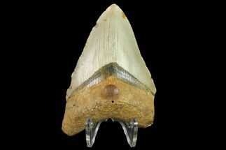 "3.70"" Fossil Megalodon Tooth - North Carolina For Sale, #131573"
