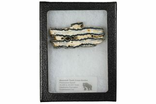 Mammuthus columbi - Fossils For Sale - #130683