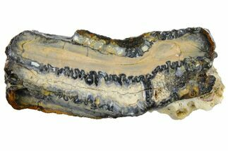 "Buy 2.1"" Mammoth Molar Slice With Case - South Carolina - #130687"