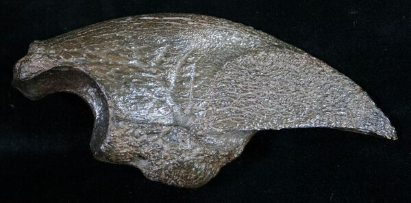 A fossil claw of the giant ground sloth Megalonyx found in Florida.