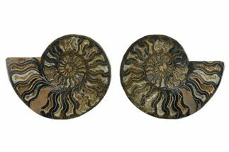 6.6 Split Black/Orange Ammonite Pair - Unusual Coloration For Sale, #132251