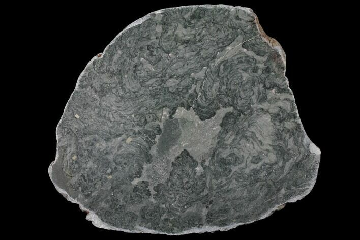 "9"" Polished Stromatolite (Alcheringa) Slab - 2.7 Billion Years"