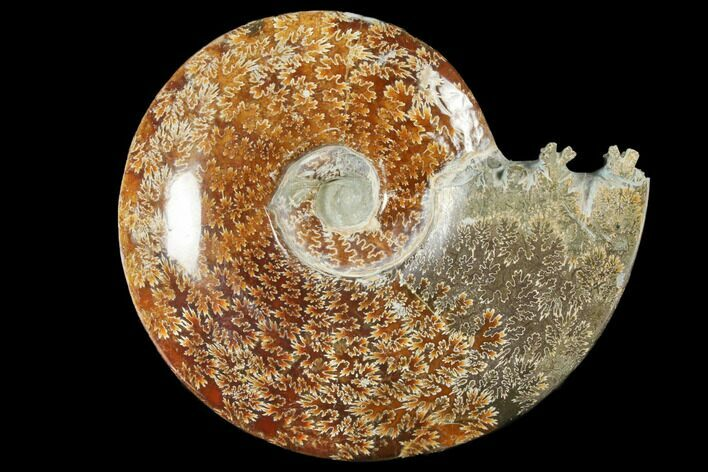 "9.1""  Polished, Agatized Ammonite (Cleoniceras) - Madagascar"
