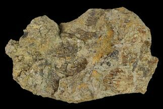 Edmontosaurus sp. - Fossils For Sale - #133488