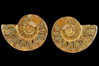"4.2"" Cut & Polished Agatized Ammonite Fossil (Pair)- Jurassic For Sale, #131750"