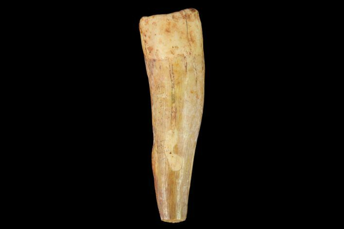 "1.39"" Fossil Phytosaur Tooth - New Mexico"
