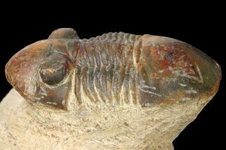 "Buy Bargain, 1.35"" Paralejurus Trilobite Fossil - Morocco - #134050"