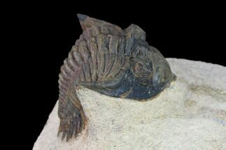 Metacanthina issoumourensis - Fossils For Sale - #133965