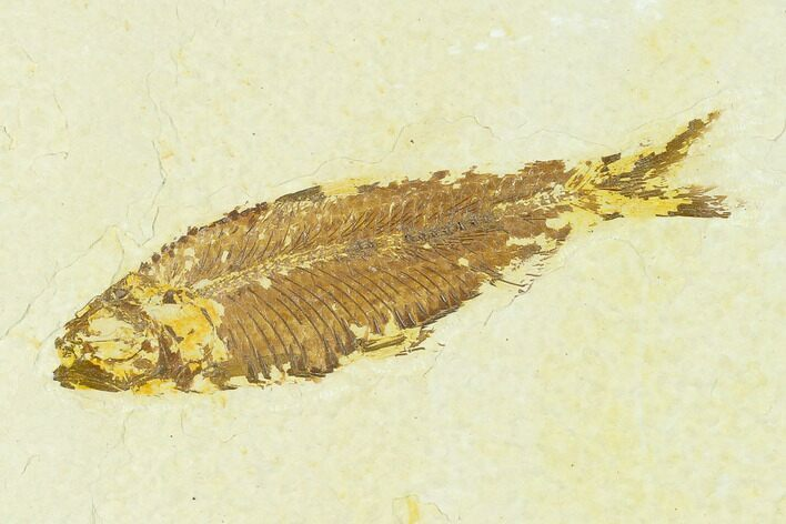 "3.6"" Fossil Fish (Knightia) - Green River Formation"