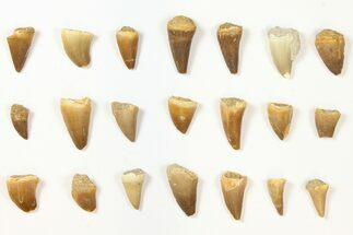 Buy Wholesale Lot: Assorted Fossil Mosasaur Teeth - 1000 Pieces - #134125