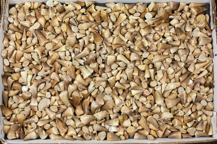Lot: Assorted Fossil Mosasaur Teeth - 1000 Pieces