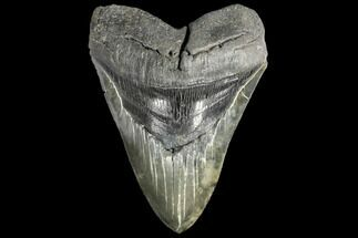 "Serrated, 5.48"" Fossil Megalodon Tooth For Sale, #134288"