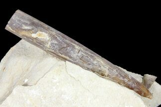 "3"" Belemnite Fossil In Rock - Jedrzejow, Poland For Sale, #134363"