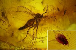 Order Diptera (Fly) & Subclass Acari (Mite) - Fossils For Sale - #135081