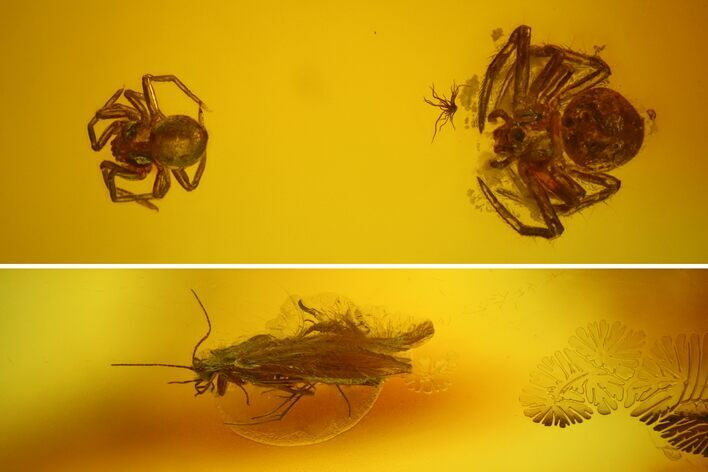 Fossil Caddisfly, Spiders and a Fly in Baltic Amber