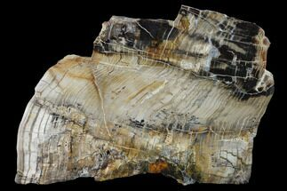 "5.3"" Petrified Wood (Araucioxylon) Slab - Circle Cliffs, Utah For Sale, #135650"