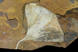 "Buy 3.2"" Fossil Ginkgo Leaf From North Dakota - Paleocene - #136081"