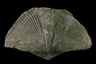 "1.9"" Pyrite Replaced Brachiopod (Paraspirifer) Fossil - Ohio For Sale, #135557"