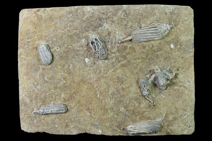 Seven Species of Crinoids on One Plate - Crawfordsville, Indiana