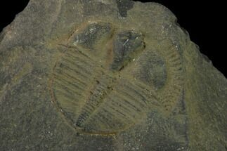 Salterolithus caractaci - Fossils For Sale - #135537