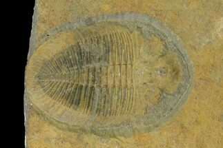 Ogygiocarella debuchi - Fossils For Sale - #135540