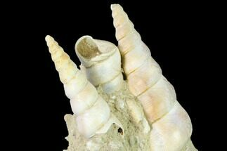 "3.8"" Fossil Gastropod (Haustator) Cluster - Damery, France For Sale, #136001"